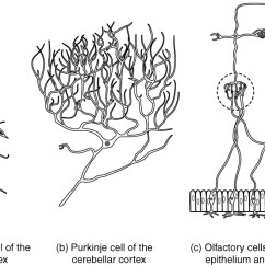 Labelled Diagram Of Nerve Cell Cub Cadet Wiring Lt1050 Nervous Tissue · Anatomy And Physiology