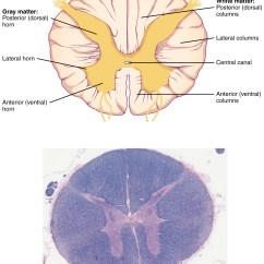 Parts Of A Blank Horse Diagram 96 Honda Civic Power Window Wiring The Central Nervous System · Anatomy And Physiology