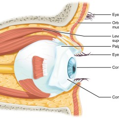 Parts Of The Eye Diagram And Function Viair Compressor Wiring Sensory Perception Anatomy Physiology Is Located Within Orbit Surrounded By Soft Tissues That Protect Support Its Cranial Bones