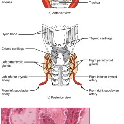 Anatomy And Physiology Diagrams To Label Speaker Wiring Diagram 4 Ohm The Thyroid Gland ·