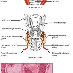 Anatomy And Physiology Diagrams To Label 2004 Suzuki Eiger 400 4x4 Wiring Diagram The Thyroid Gland ·