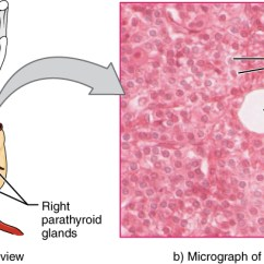 Lymph Nodes In Neck Diagram Ac Motor Capacitor Wiring The Parathyroid Glands · Anatomy And Physiology