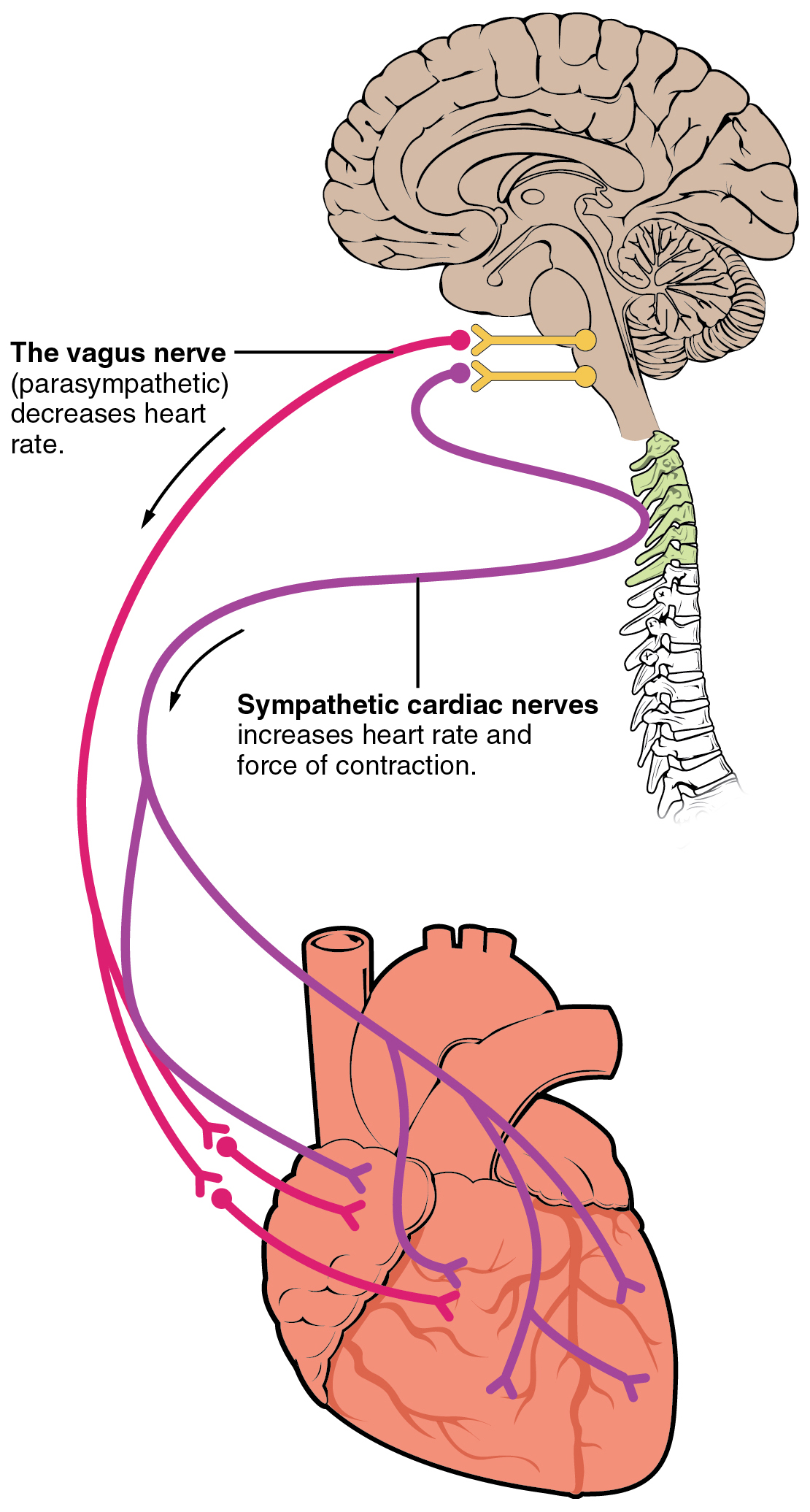 vagus nerve diagram car signal light wiring location in chest lung