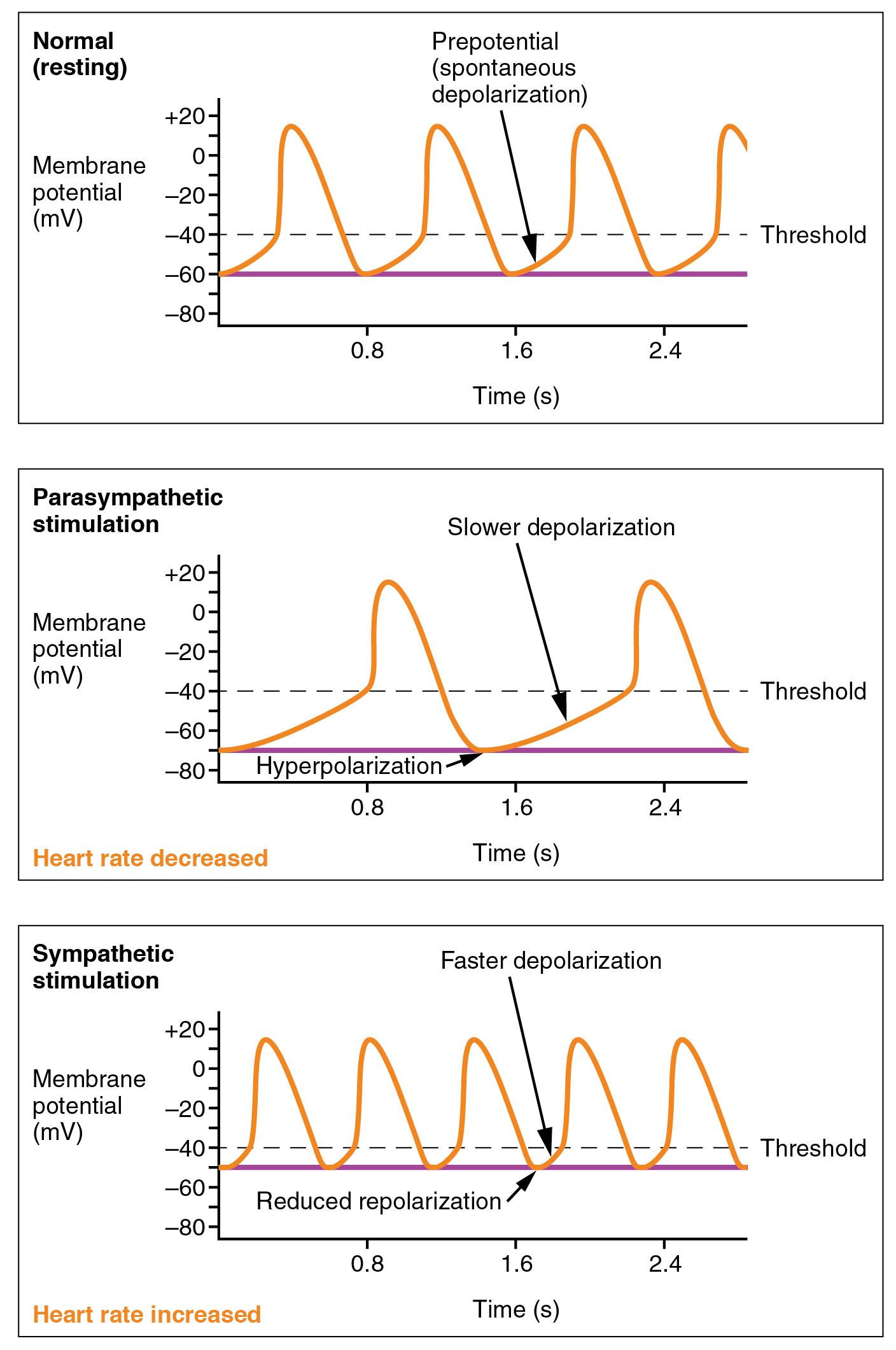 Cardiac Physiology Anatomy And Physiology