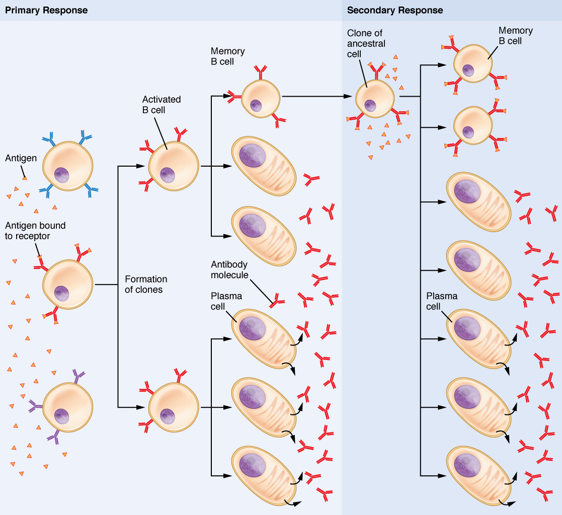 diagram of how vaccines work 1969 honda cb450 wiring the adaptive immune response b lymphocytes and antibodies
