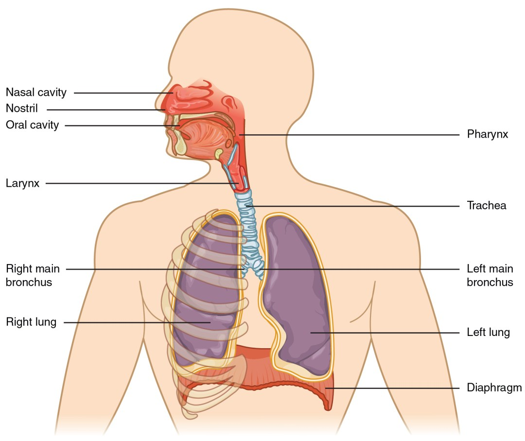 This figure shows the upper half of the human body. The major organs in the respiratory system are labeled.