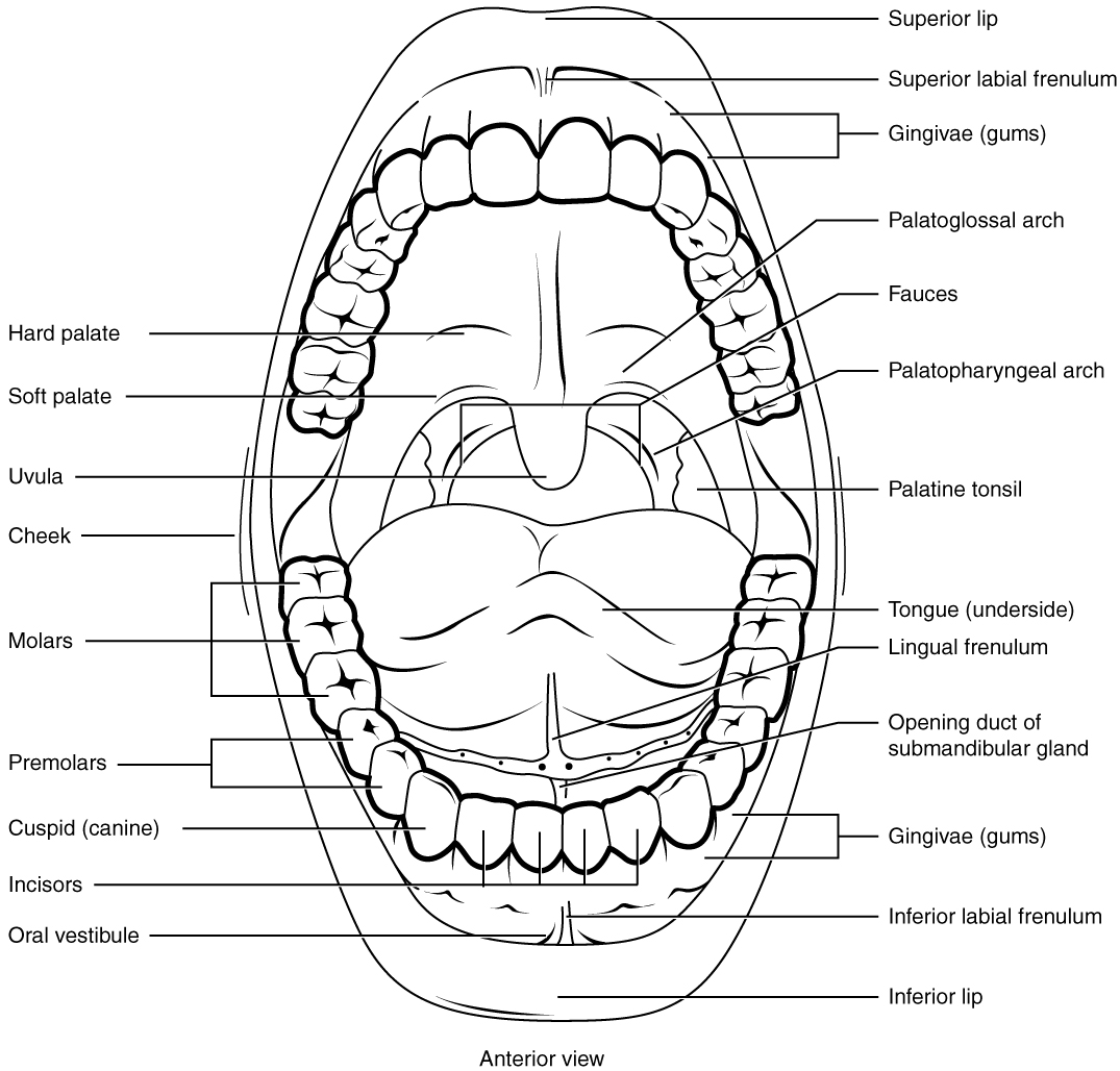 The Mouth, Pharynx, and Esophagus · Anatomy and Physiology