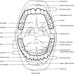 Tooth Diagram With Label Jet Pump The Mouth Pharynx And Esophagus  Anatomy Physiology