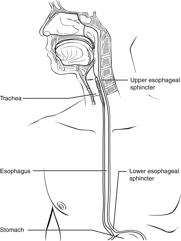 human esophagus diagram