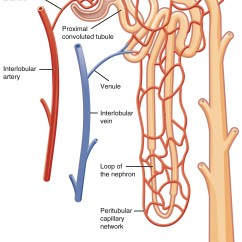 Nephron Diagram From A Textbook Dball2 Wiring Gross Anatomy Of The Kidney  And Physiology