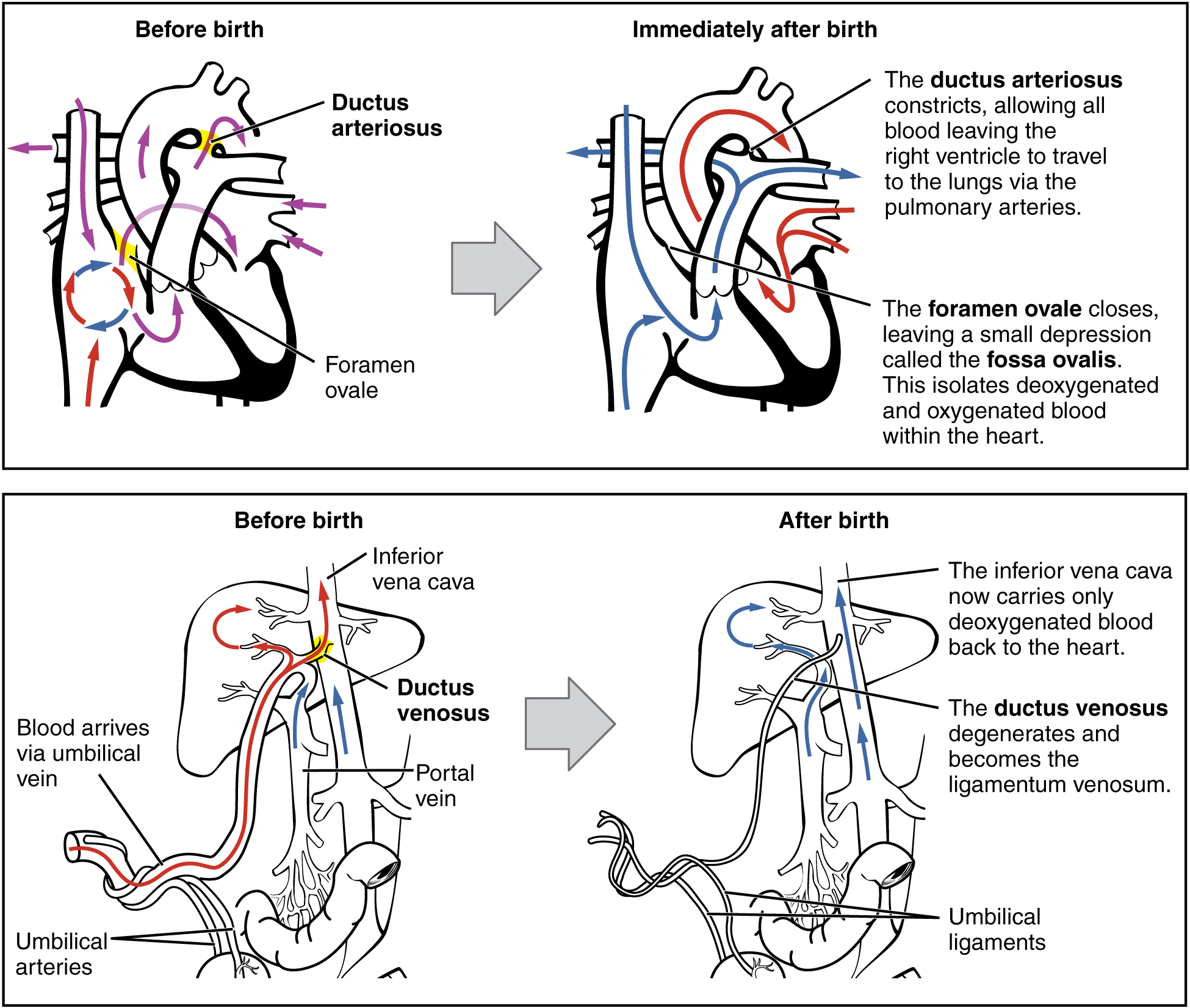 Adjustments Of The Infant At Birth And Postnatal Stages
