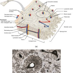 Bone Cell Diagram Labeled Bubble Blowing List Of Synonyms And Antonyms The Word Human Tissue