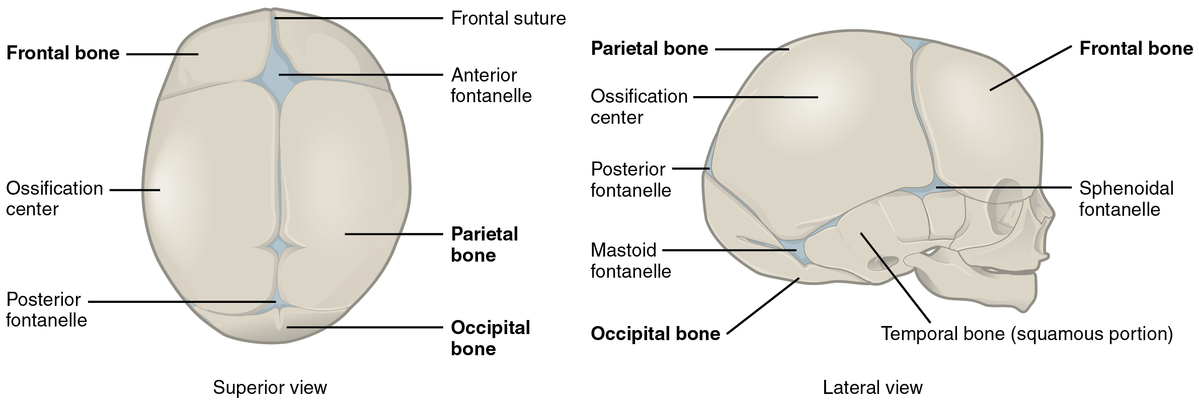 Embryonic Development Of The Axial Skeleton Anatomy And