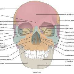 Bones Of The Skull Anterior View Diagram Allen Bradley Mcc Wiring Diagrams  Anatomy And Physiology