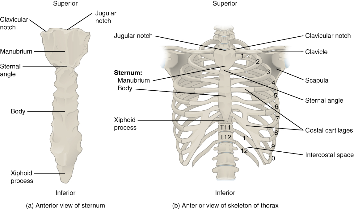 labeled diagram of heart on base 1996 chevy silverado stereo wiring the thoracic cage · anatomy and physiology