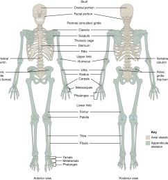 this figure shows the human skeleton the left panel shows the anterior view and [ 1190 x 1211 Pixel ]