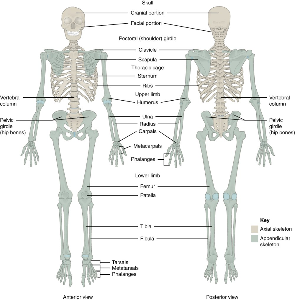 medium resolution of this figure shows the human skeleton the left panel shows the anterior view and
