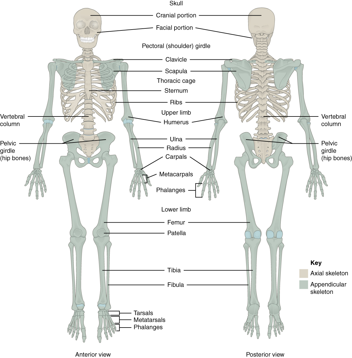hight resolution of this figure shows the human skeleton the left panel shows the anterior view and