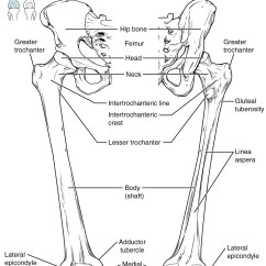 Upper Leg Muscles Diagram Ge Refrigerator Door Bones Of The Lower Limb · Anatomy And Physiology