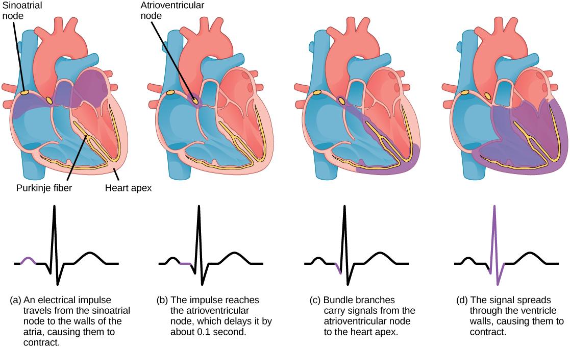 Mammalian Heart and Blood Vessels · Biology