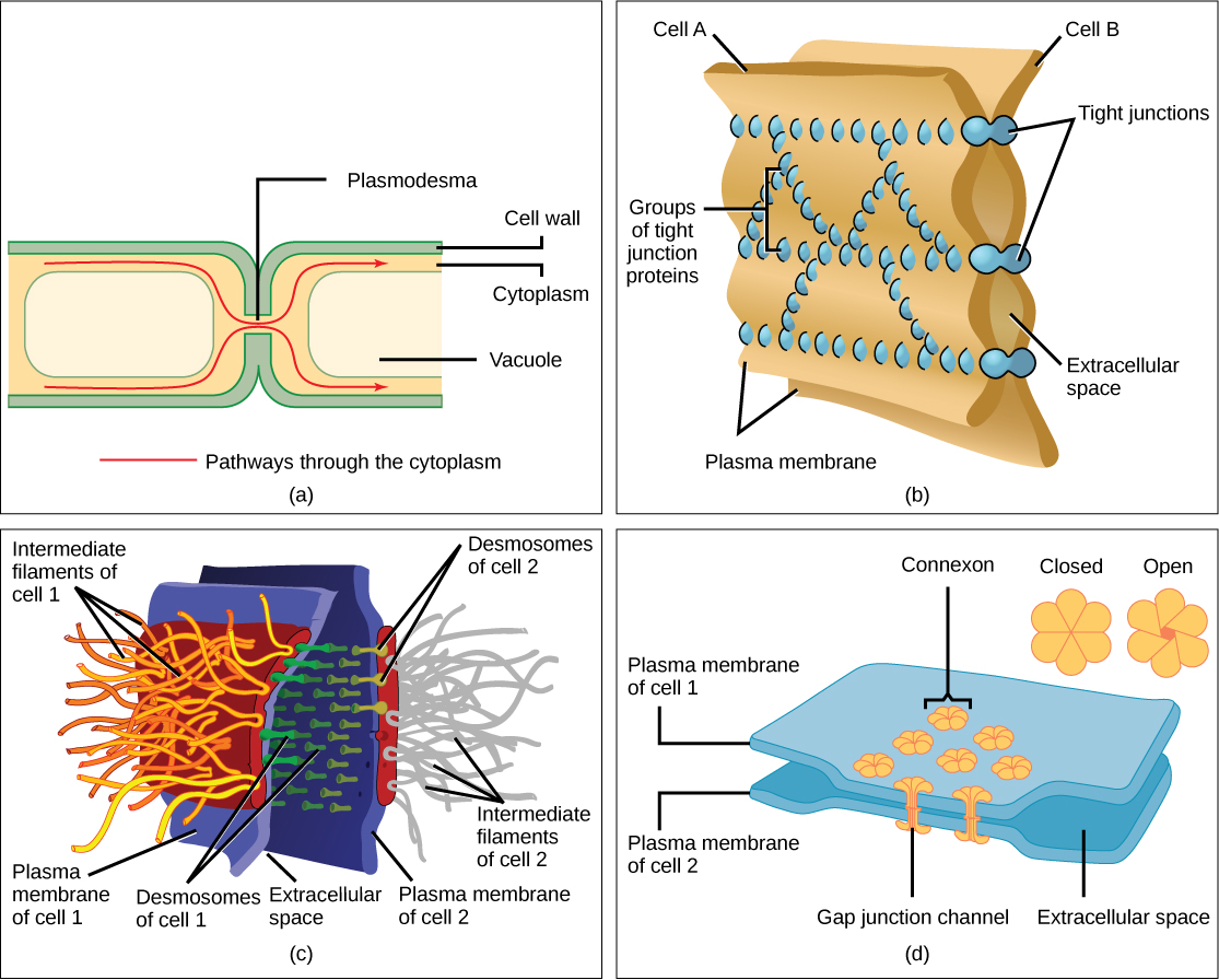 Eukaryotic Cells Concepts Of Biology