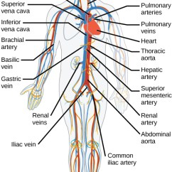 Head And Neck Muscles Diagram Blank Minn Kota Wiring Trolling Motor Circulatory Respiratory Systems · Concepts Of Biology