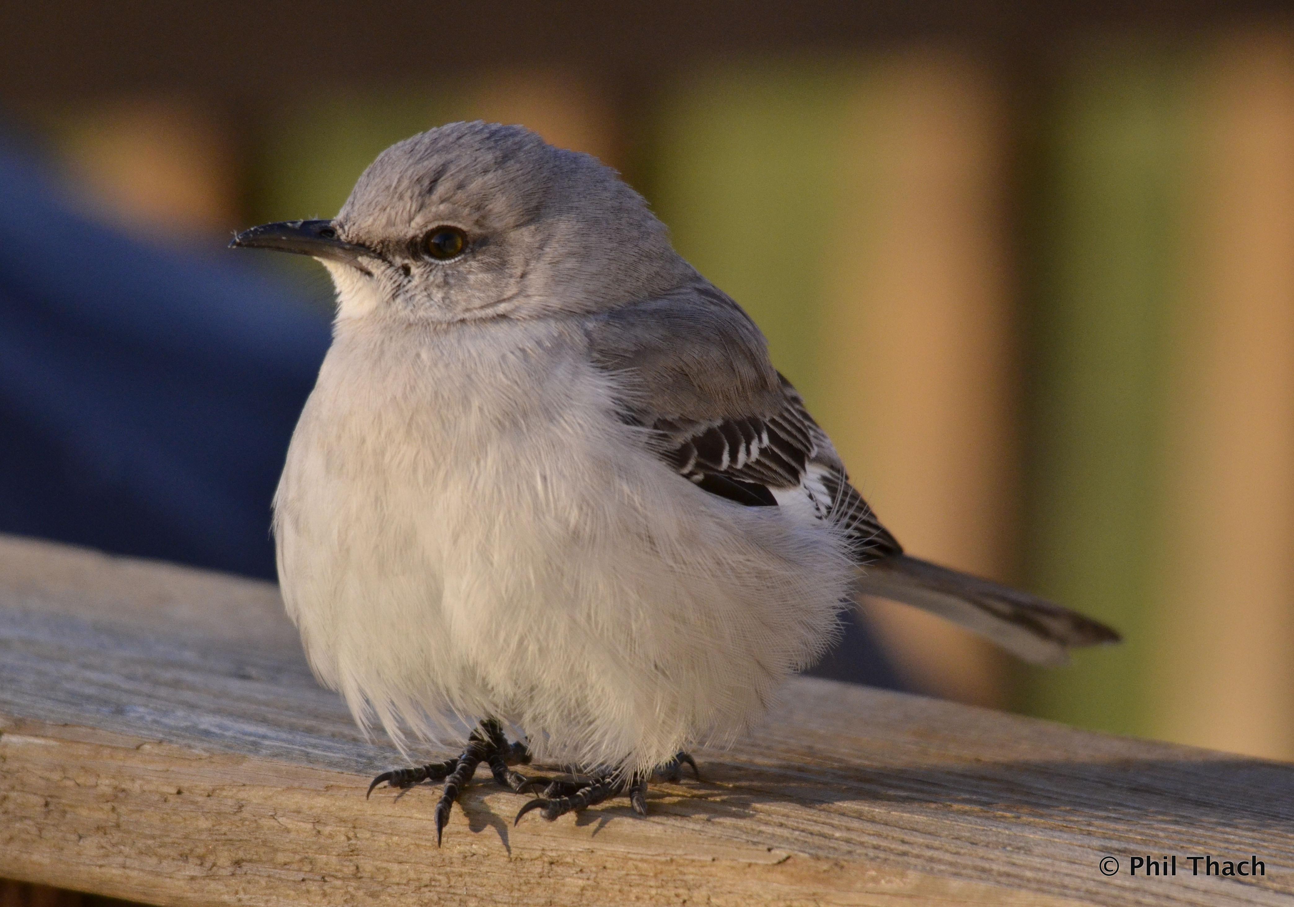 Northern Mockingbird State Bird Of Tennessee