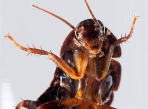 This is what a cockroach looks like.