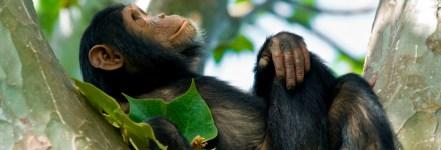 QENP-chimp-uganda-safari