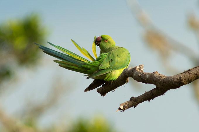 Rose-Ringed Parakeet by Milan Zygmunt