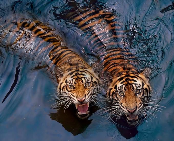 Tiger Couple by Robert Cinega