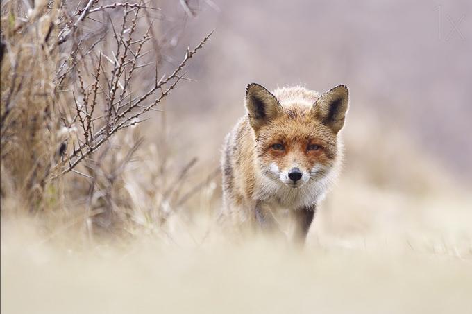 Red Fox in Pastels by Roeselien Raimond
