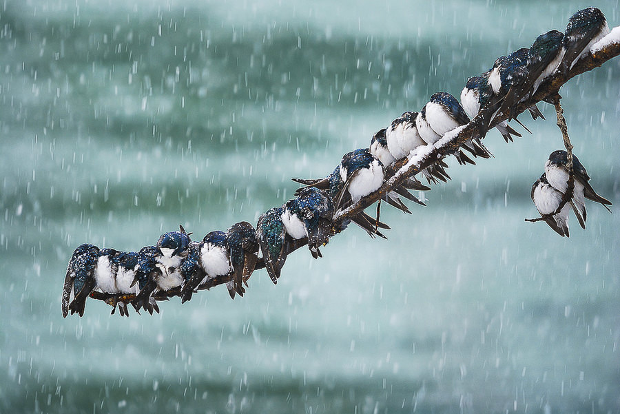 Seemingly Surreal Swallows in a Spring Snowstorm by Keith Williams