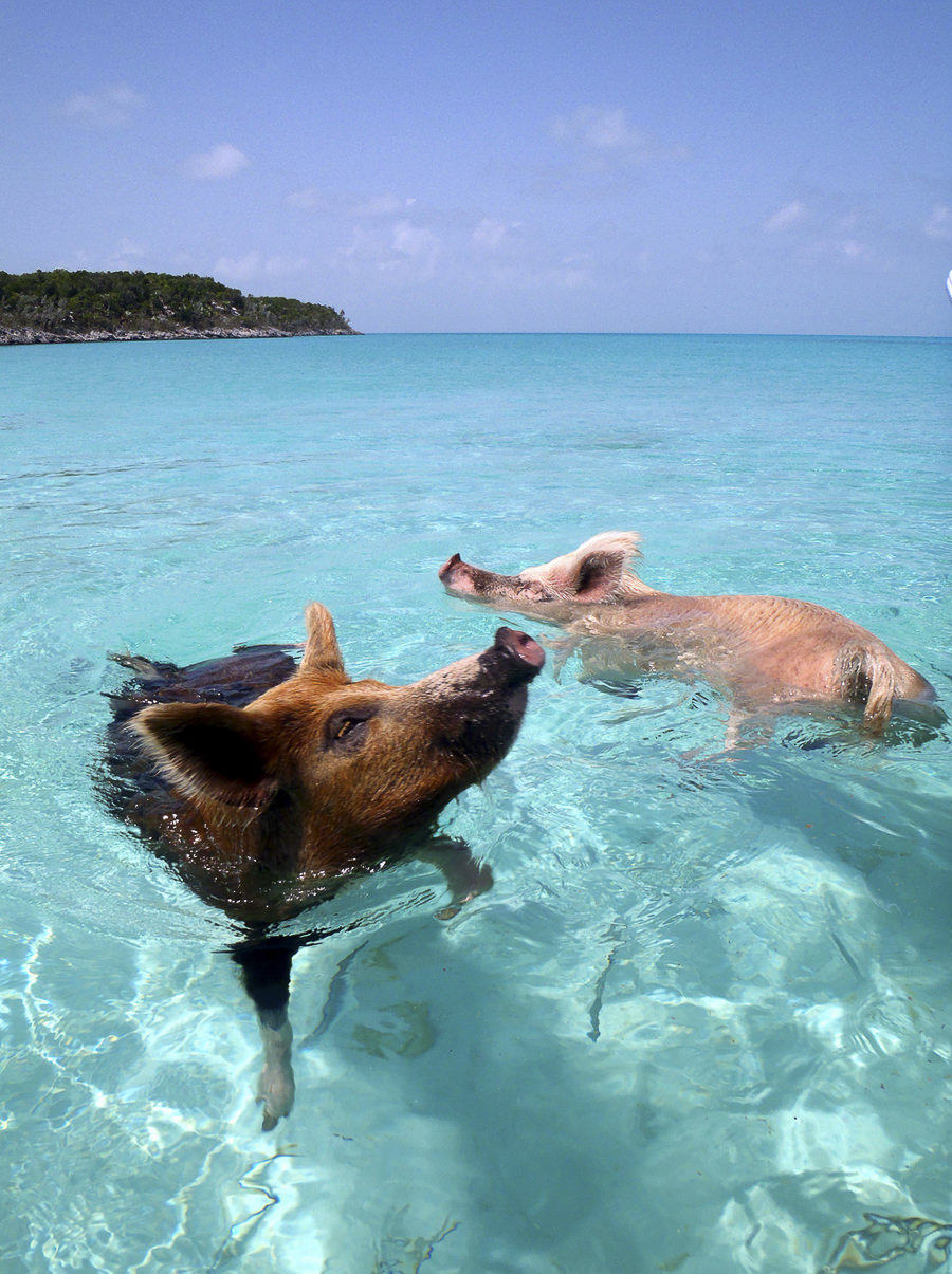 08.2012 Vorobek Bahamas - swimming pigs by Christopher Dorobek