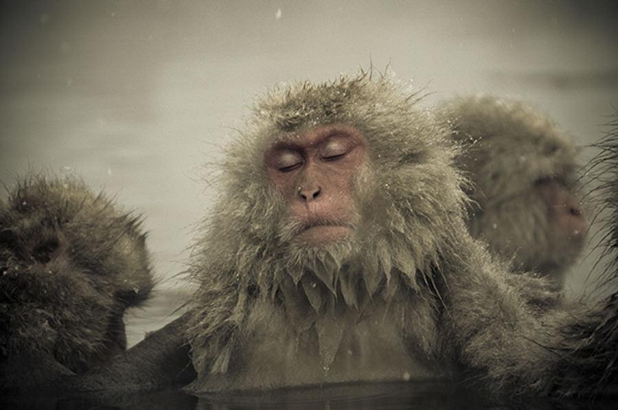 Snow Monkeys Nagano Japan by Ron Gessel