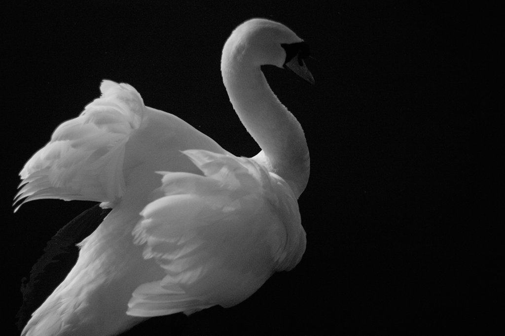 picture of swan at night
