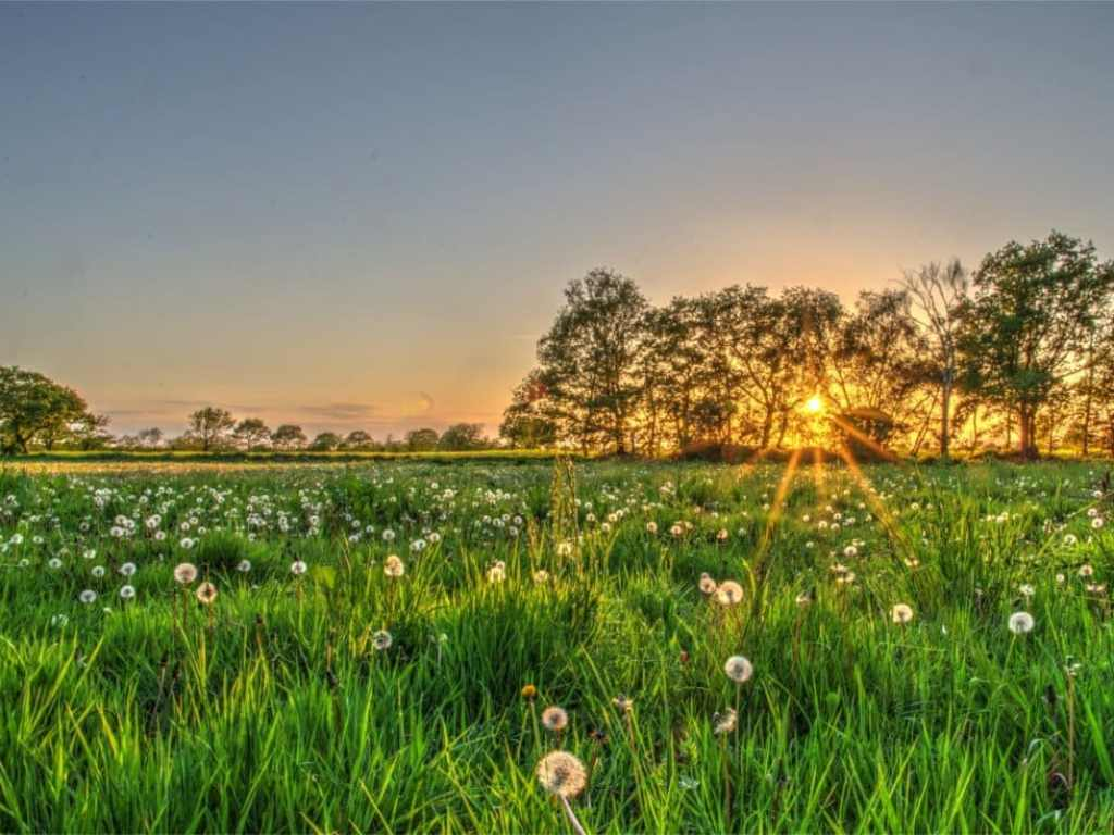 Field of dandelions during sunset - using bracketing/HDR