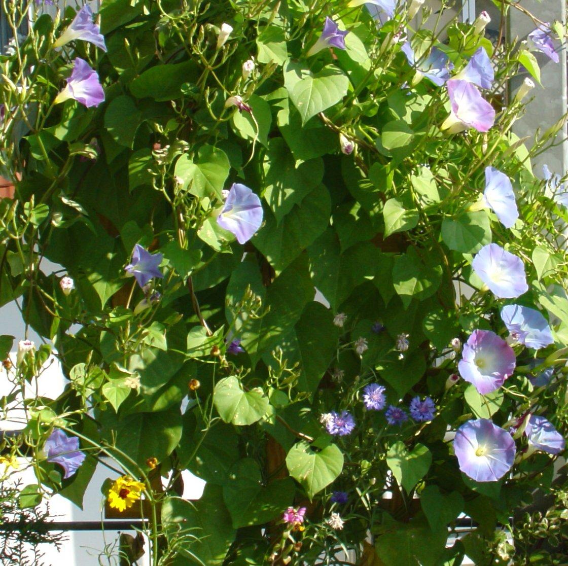 Welche Kletterpflanzen sind fr den Balkon geeignet