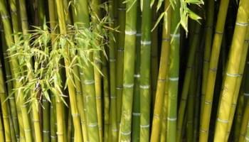 Yucca Hat Braune Blattspitzen Und Lause Phlora De