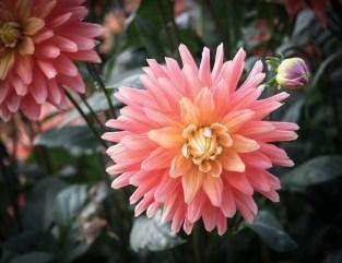 Kaktus-Dahlie Brandaris | Foto: phlora.de