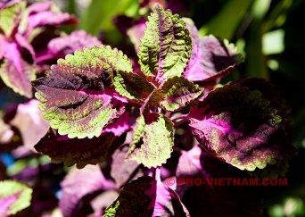Perillaplant (foto: Pho Vietnam © Kim Le Cao)
