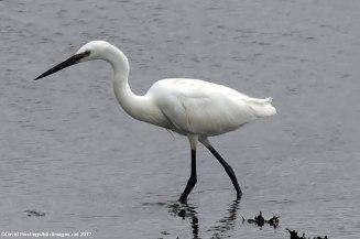http://sdakotabirds.com/species/little_egret_info.htm