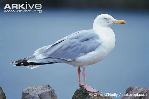 http://www.arkive.org/herring-gull/larus-argentatus/