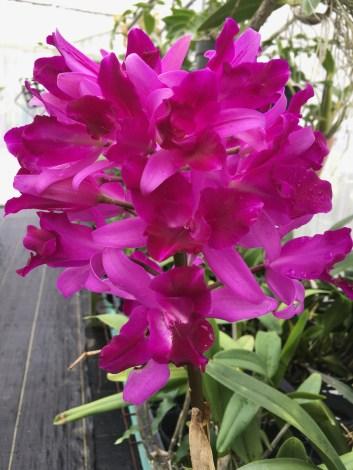 Lc. Tristar Bouquet 'Hawaii'