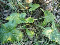 Arum maculatum - TÒXIC