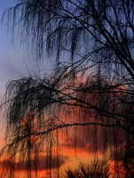 willow leaf-fall