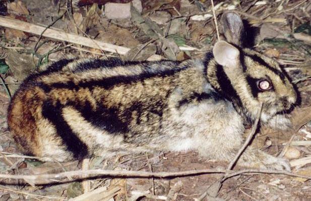 Kelinci Sumatera