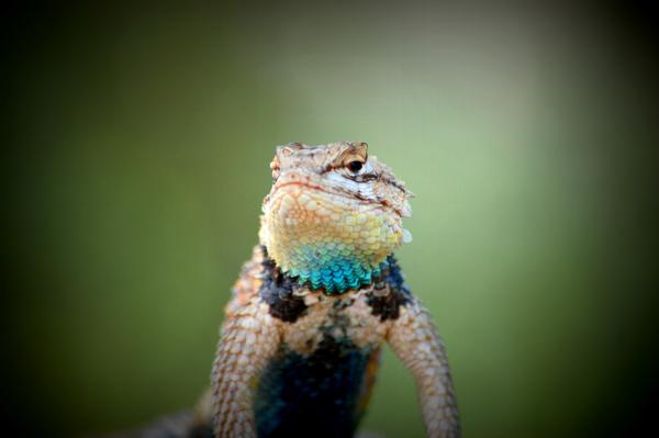 image of a desert lizard