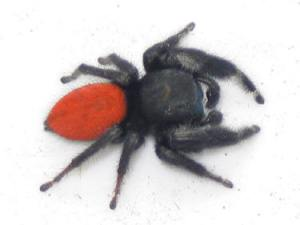 Knoxville pest control, Maryville pest control, jumping spider