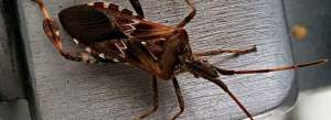 Knoxville Pest Control, Lakewood Esterminating, Connifer Seed Bug